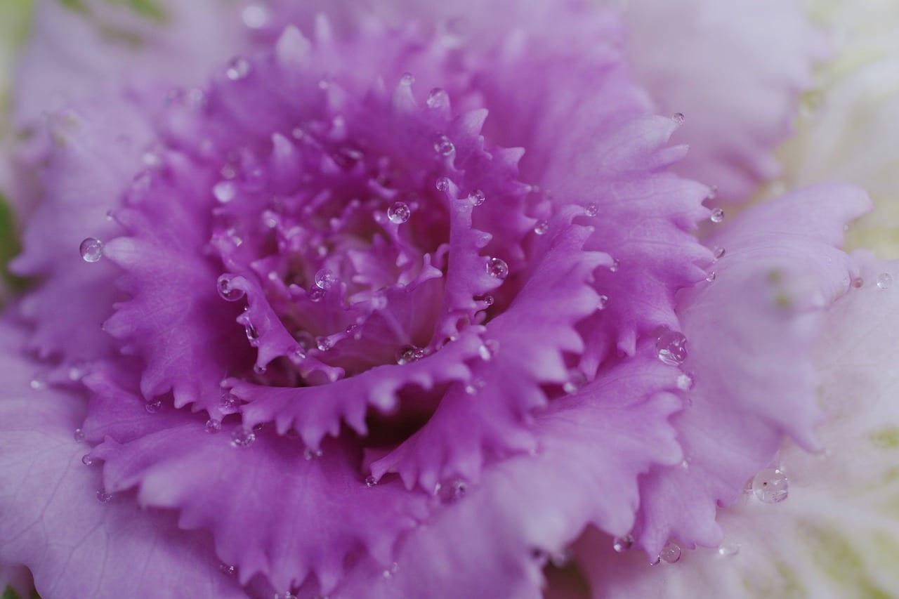 Rose Eternelle Cristal